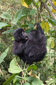 Rwanda, Parc National des Volcans, Volcanos National Park, baby mountain gorillas playing (gorilla gorilla berengei)