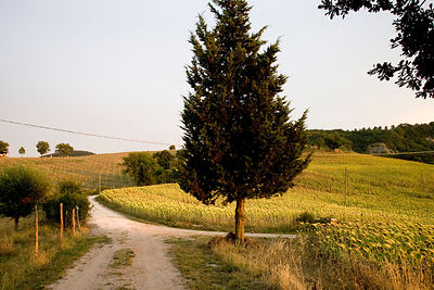 Italy - Umbria - A winding road and a field of sunflowers