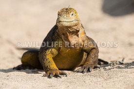galapagos_land_iguana_north_seymour_walk-18