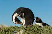 African penguins, Spheniscus demersus, Boulders Beach, Cape Peninsula, South Africa