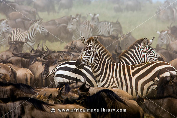 Tanzania, Serengeti National Park,blue wildebeest and zebra in the yearly migration