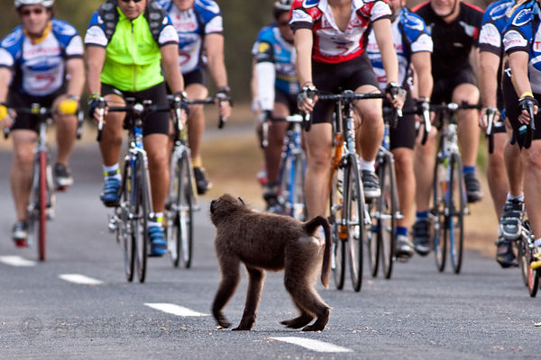 A chacma baboon from the Plateau Road troop gets out of the way of a throng of oncoming cyclists. Plateau Road is popular wit...
