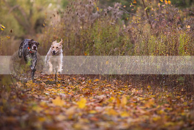 two dogs racing running on trail in autumn vegetation