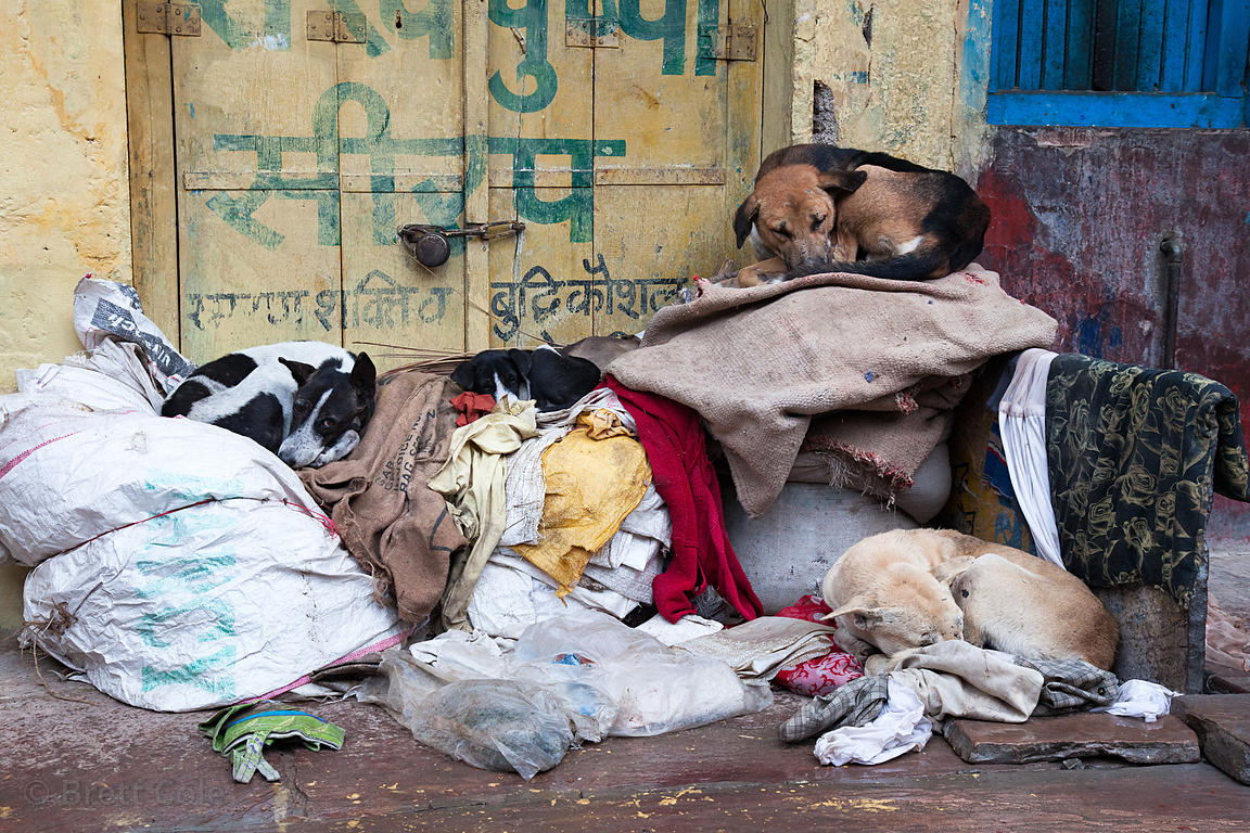 A group of dogs lies shivering on a pile of garbage in the early morning, Bundi, Rajasthan, India