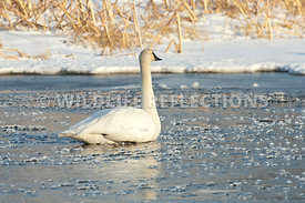 trumpeter_swan_sitting_ice_cubes20120101_0001