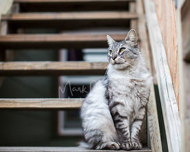 Tabby Cat Mix with Green-Eyes Sitting on Wooden Stairs