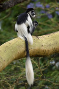 Black and white colobus (Colobus guereza), Maasai Mara National Reserve, Kenya