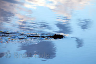 North American Beaver (Castor canadensis) swimming in a lake at Green Farm Park, Maryland