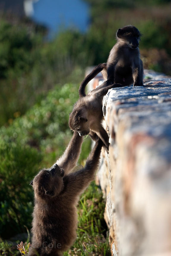 Chacma baboons from the Buffels Bay troop climb on a wall at the Buffels Bay visitor's center, Cape Peninsula, South Africa