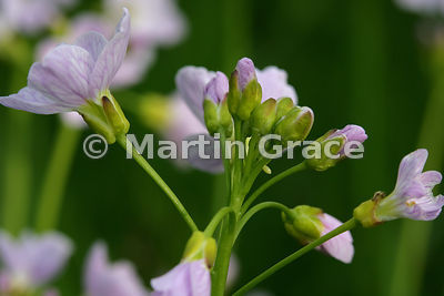 Flower head of Lady's Smock (Cuckoo Flower) (Cardamine pratensis) with freshly-laid white egg of the Orange Tip butterfly (An...