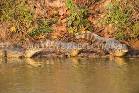 caiman_pond_edge_group-3