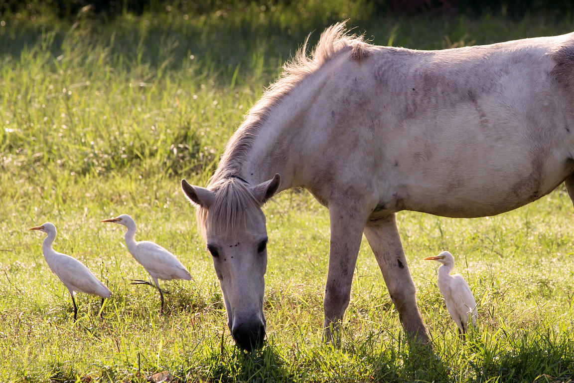 Wild white horse and cattle egrets on the Maidan (Central Park), Kolkata, India