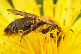 Andrena nitida on Taraxacum species