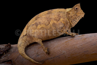 Perinet Leaf Chameleon (Brookesia therezieni)