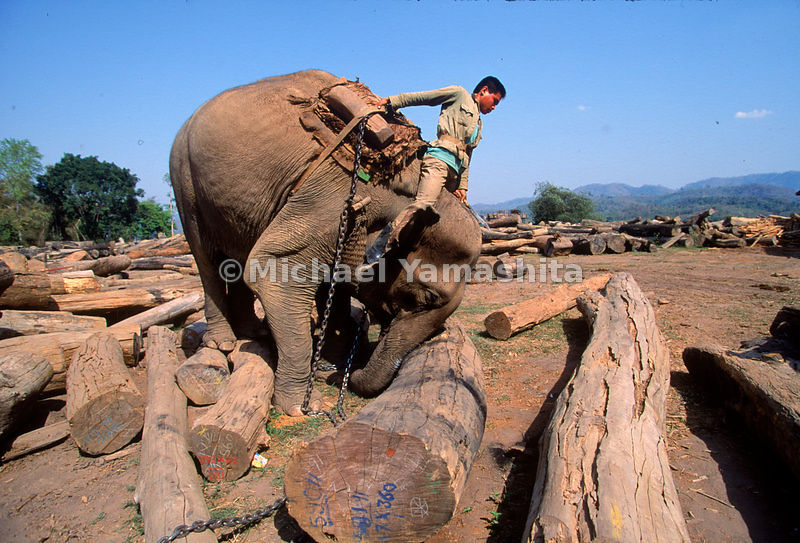 Elephants like Toum, this 50-year-old female, outnumber cranes and bulldozers in Laotian logging operations along the Mekong....