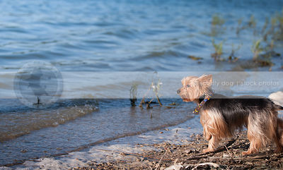 small black and tan dog standing on lake shore with minimal background