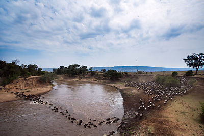 Eastern White-bearded Wildebeest (Connochaetes taurinus) herd crossing the Mara River. Masai Mara National Reserve, Kenya.