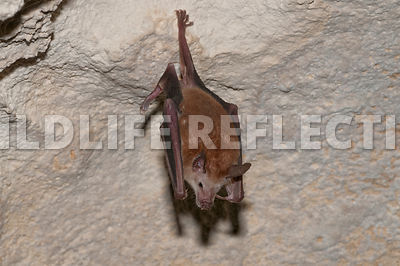waterhouse_bat_hanging_25