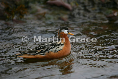 Female Red Phalarope (N America) or Grey Phalarope (Europe) (Phalaropus fulicarius) in red summer breeding plumage, Albert I ...