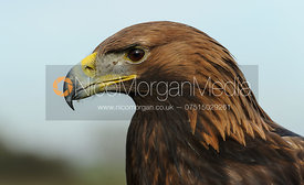 The Belvoir Hunt's Golden Eagle (Aquila Chrysaetos)