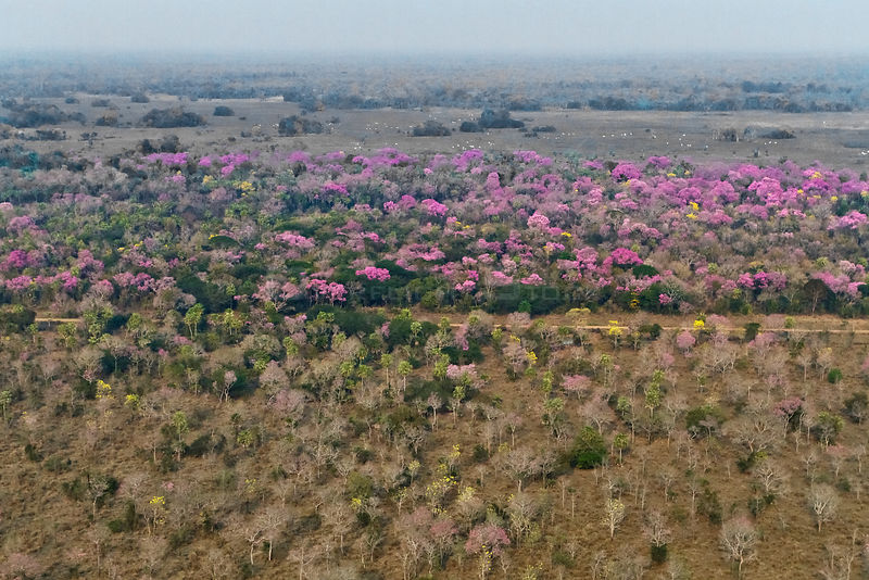 Aerial landscape of Cerrado with flowring Pink Trumpet Trees / Pink Lapacho (Handroanthus impetiginosus) Brazil, August 2010.