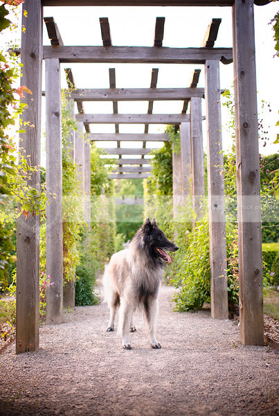 pretty shepherd dog looking away standing on path under trellis