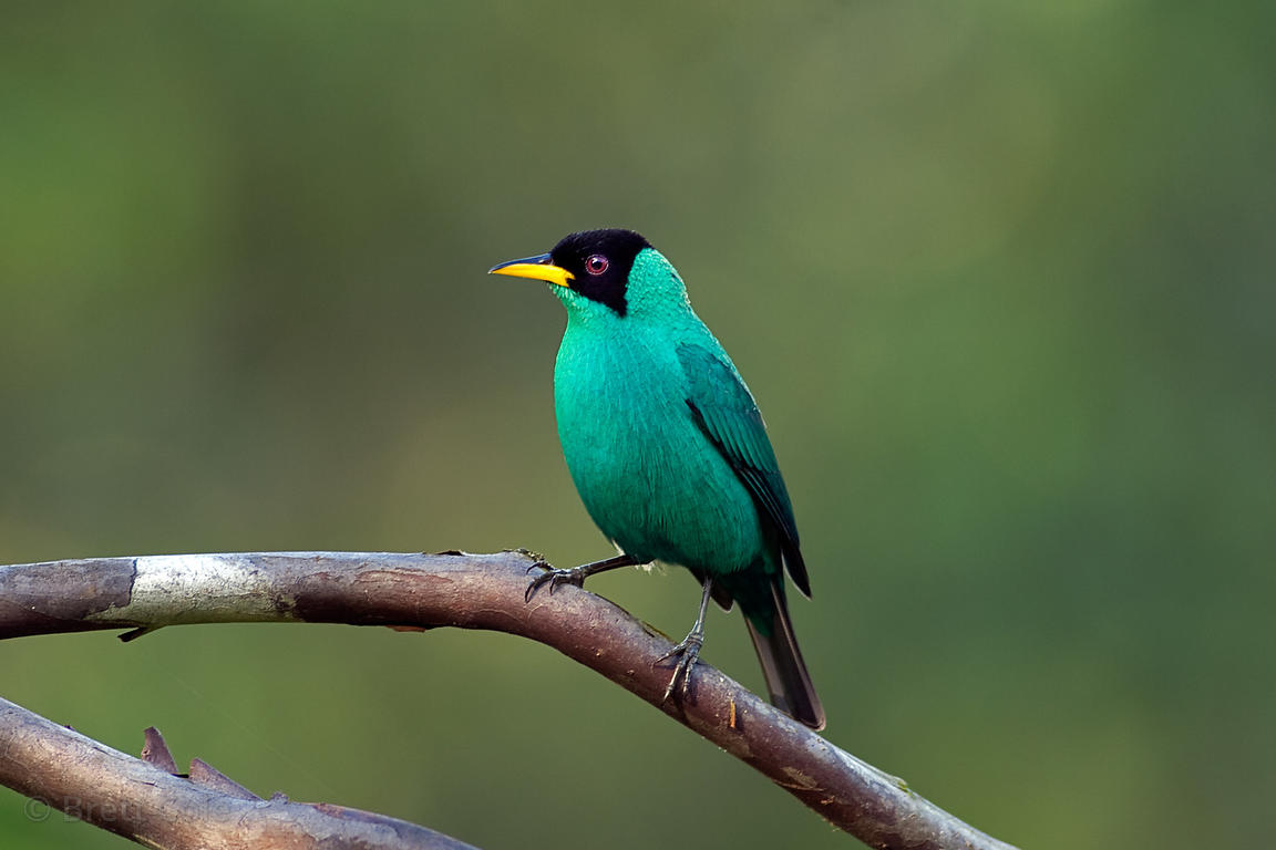 Male green honeycreeper (Chlorophanes spiza), CR SP Mielero Verde, Rey de Trepadores, Skutch Biological Corridor, near San Is...