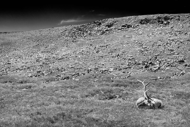ELK IN THE HIGH TUNDRA ROCKY MOUNTAIN NATIONAL PARK COLORADO BLACK AND WHITE
