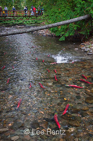 Sockeye Salmon With Wildlife Watchers along Adams River