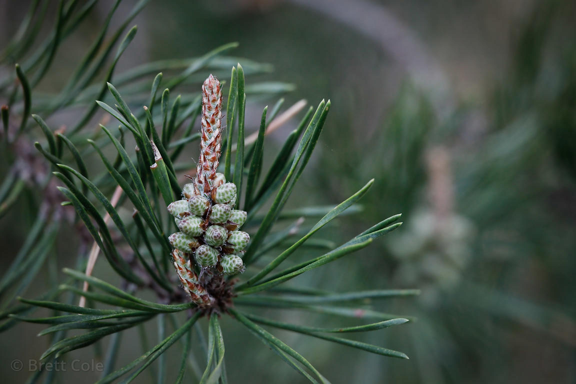 Pollen on a pine tree in Gaithersburg, Maryland