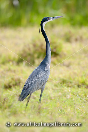 black-headed heron (Ardea melanocephala), Nairobi National Park, Nairobi, Kenya