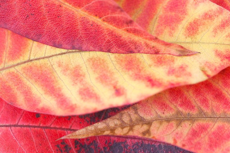 fall leaf with red and yellow