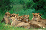 pride of lions, Panthera leo, Hwange National Park, Zimbabwe