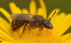 Lasioglossum species