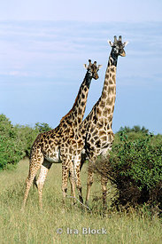 A scene of two giraffes, Kenya, Africa