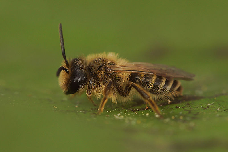 Andrena flavipes, male , 2nd generation