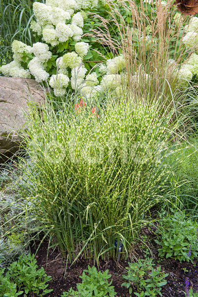 Miscanthus sinensis 'Gold Bar', eulalie, bicolore