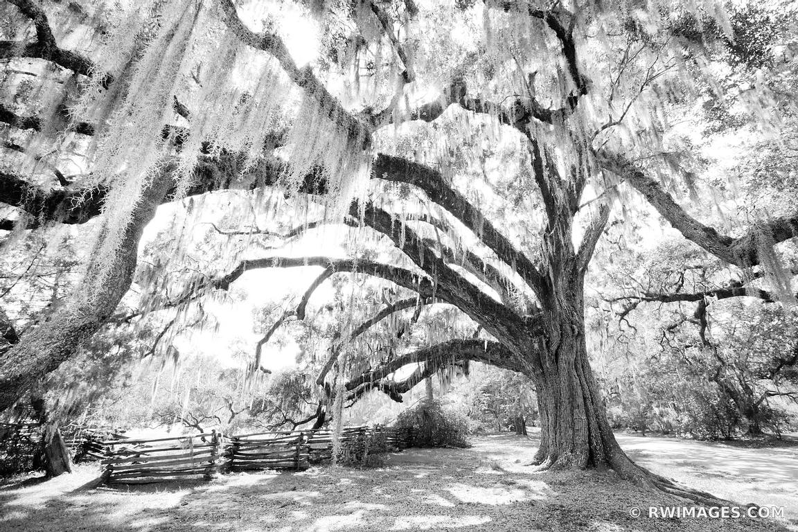 MAGNOLIA PLANTATION AND GARDENS CHARLESTON SOUTH CAROLINA BLACK AND WHITE