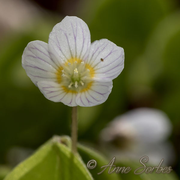 Common wood sorrel (Oxalis acetosella)