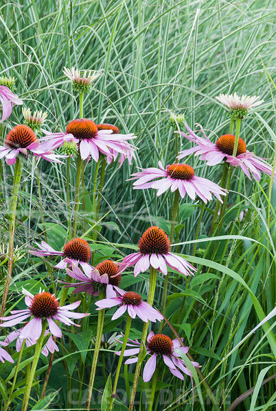 Echinacea purpurea with fine leaves of Miscanthus 'Morning light' behind. Broughton Buildings, Broughton, nr Stockbridge, Han...