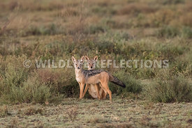 jackal_pair_ndutu_02192015-10-Edit