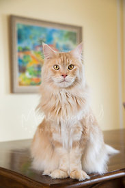 Orange colored Maine Coon Cat Sitting on Table in front of Painting