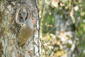 August - Northern Flickers