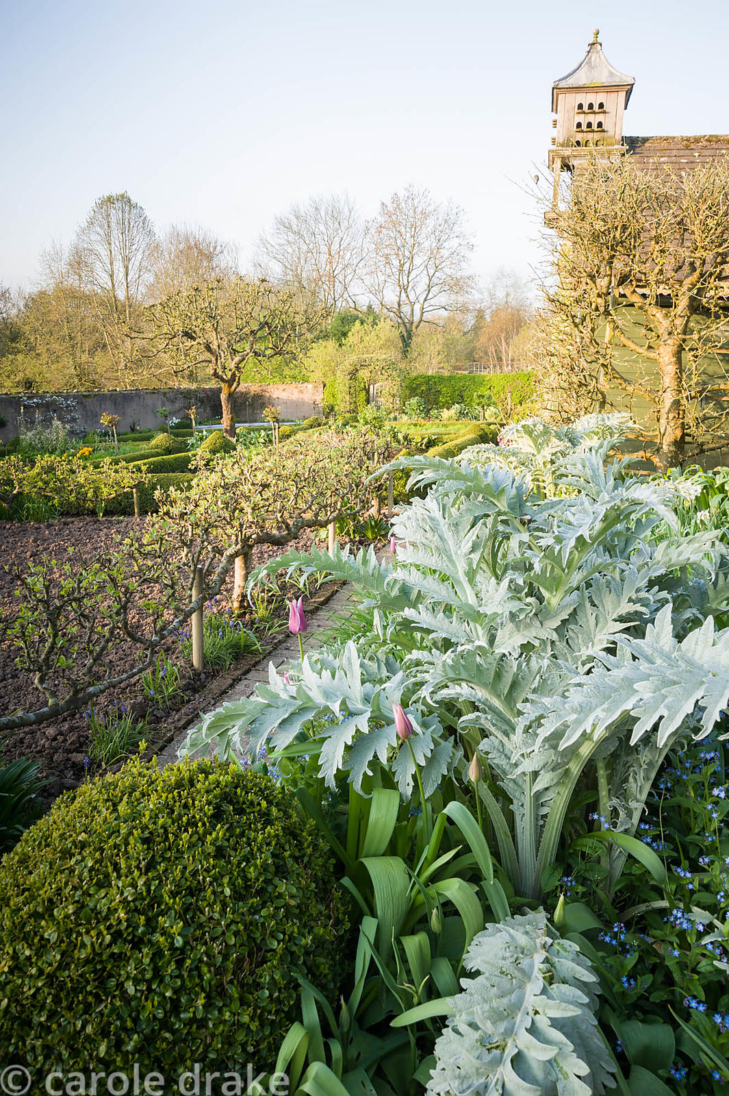Silvery new leaves of cardoons, Cynara cardunculus, with pink tulip 'Ballade' and clipped box in the walled kitchen garden. B...