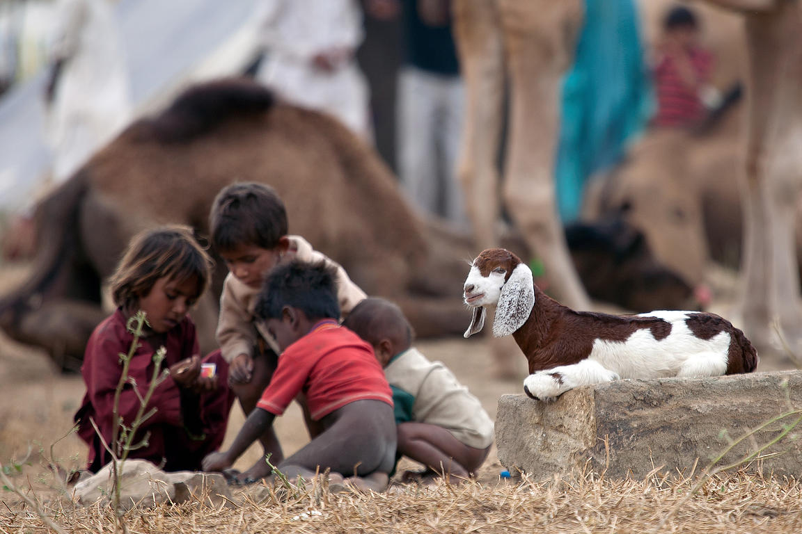Children play near a baby goat in Pushkar, Rajasthan, India