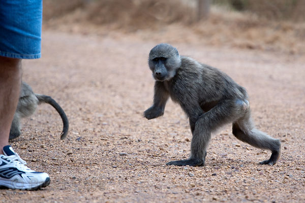 A juvenile chacma baboon from the Smitswinkel troop with a missing arm walks near a parked car on the M4 near Miller's Point,...