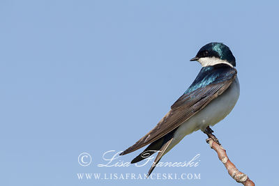 Male Tree Swallow 2
