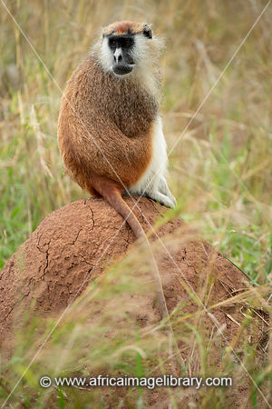 Patas monkey, Erythrocebus patas, Kidepo Valley National Park, Uganda