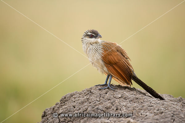 White-browed coucal (Centropus superciliosus), Queen Elizabeth National Park, Uganda