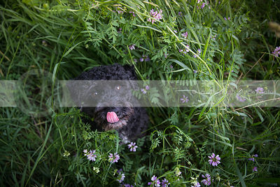 cute little black dog licking nose looking upward in clover